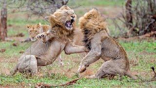 Lions Brutal Battle For Lioness' Affection