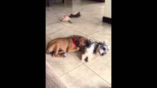 Sleepy Boxer Puppy And Slpeeing Schnauzer Puppy