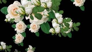 футаж белые розы 2
