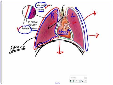 Mr. Walker's Biology 20: Human Respiratory System