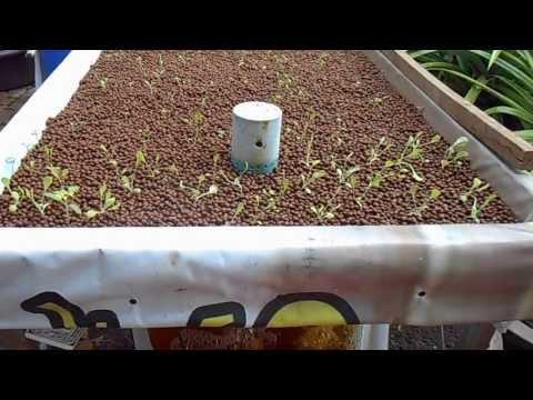 การปลูกผักไร้ดินในวัสดุปลูก Hydroton