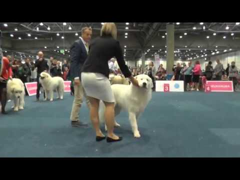 WDS2017- Pyrenean Mountain Dog - Male - Junior class