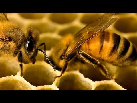 Как пчелки делают мед