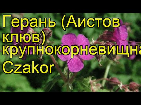 Герань крупнокорневищная Цзакор. Краткий обзор, описание характеристик geranium macrorrhizum Czakor