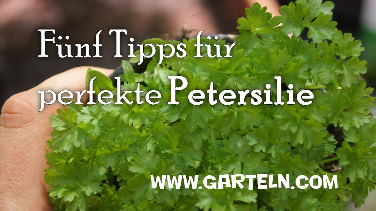 pflanzen in der kuche tipps rund pflege, fünf tipps für perfekte petersilie - petersilie pflanzen - youtube, Design ideen