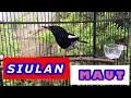Suara Burung Kacer Gacor Buat Pancingan  Mp3 - Mp4 Download