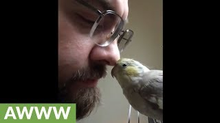 Affectionate cockatiel really loves getting attention