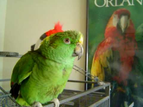 Rapping Parrot Part II