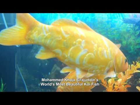 World most biggest koi fish for me youtube for Expensive koi fish