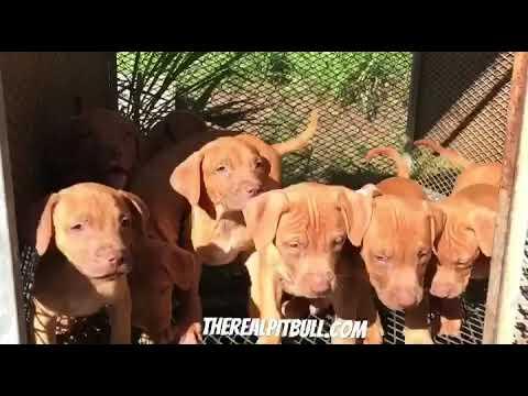 Real pitbull puppies