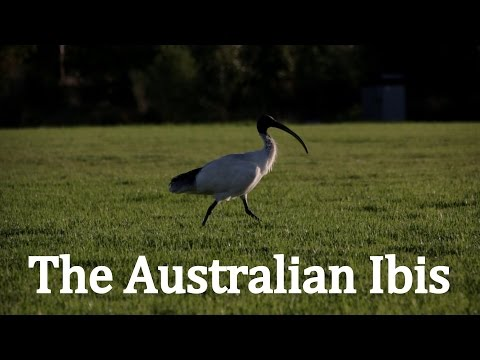 The Australian White Ibis | Natural History Documentary