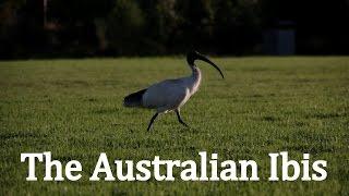 The Australian White Ibis | Natural History Documentary