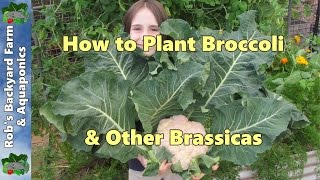 How to plant broccoli & other brassicas