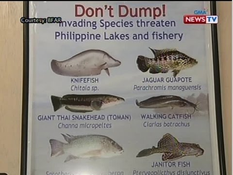 janitor fish philippines