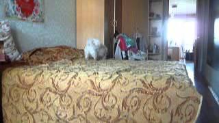 Что делают собаки когда хозяев нет дома тибетский спаниель(Тибетский спаниель хулиганит, когда хозяева ушли. Залезать на кровать ей запрещено., 2016-01-30T16:22:39.000Z)
