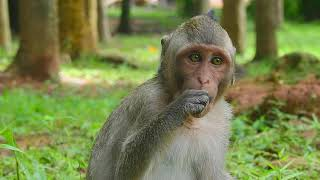 Update monkey Asean health condition! Monkey Asean get better from day to day | Angkor Nature