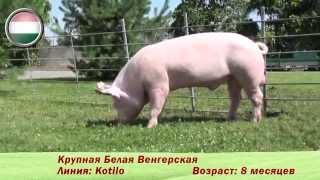 племенные свиньи породы 'Крупная белая