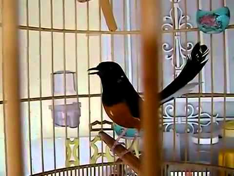 White-rumped shama bird sing very well