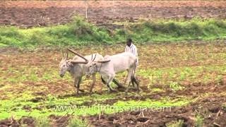 Bullock ploughing paddy fields in Karnataka