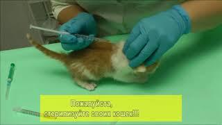 Больному котенку делают уколы.