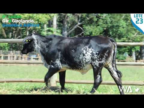 LOTE 23 - 5371 BJ - 6º Leilão Gir & Girolando Genética Aditiva