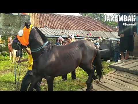 Persiapan atraksi kuda renggong