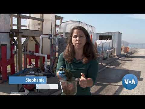 Algae Harnessed to Make Clean Water, Clean Power