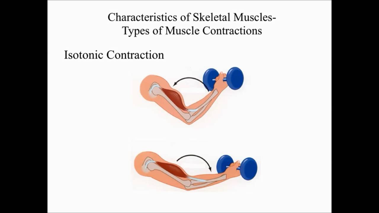 Chapter 7 The Muscular System Characteristics of Muscle & Skeletal ...