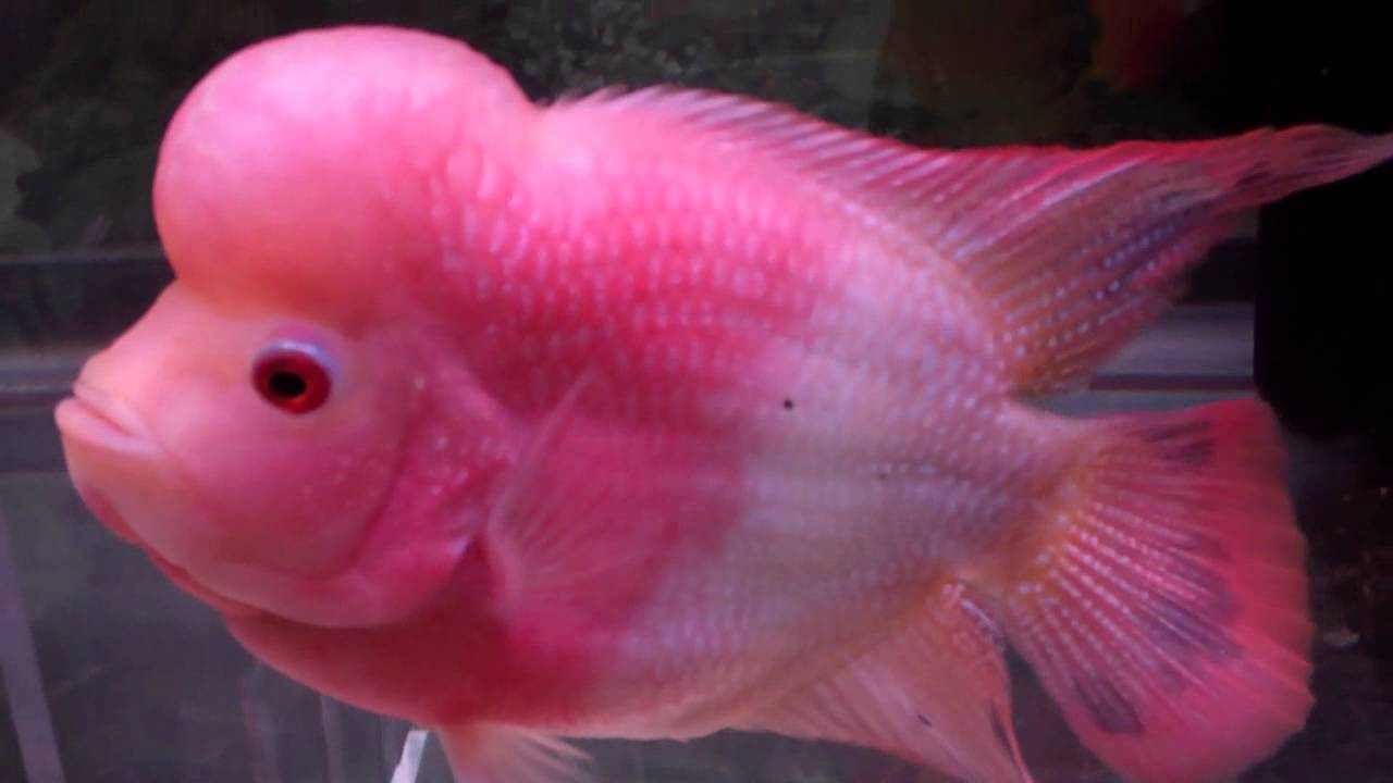 Brichardi Albino likewise Watch furthermore Discus Fish Information as well Stacked 200 Gallon And 55 Gallon Aquarium Setup Photos Details And Stock Lists besides Tetra Fish Eggs Look Like Copella Arnoldi Splash Tetra Fair City Aquarist Society. on oscar fish black