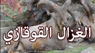 الحيوانات - الغزال القوقازي