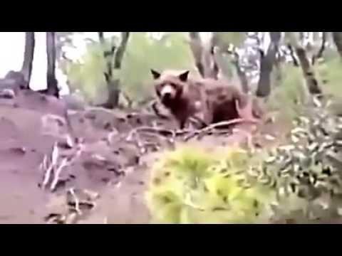 The last Atlantic bear in algeria ..North Africa.. was filmed