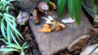 5-5 Box turtle care -feeding Sparky