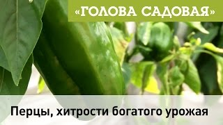 Голова садовая - Перцы, секрет богатого урожая
