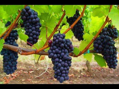 Посадка винограда. Самый легкий способ | виноградный | удобрения | посадить | виноград | черенок | укрытие | саженец | посадка | сажать | огород