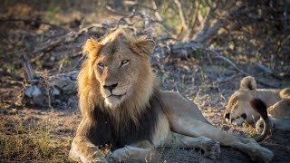 Mabande Male Lion Mates with Lioness