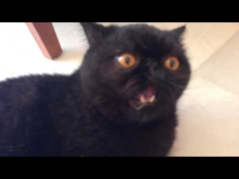 Gato persa exotico enfadado