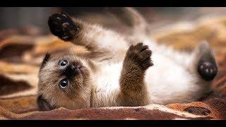 Xiêm thái - giống mèo được mệnh dąnh hoàng gia