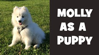 Molly the Japanese Spitz dog as a puppy