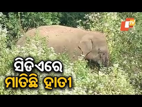 Elephant spotted near CDA in Cuttack