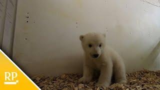 So süß ist das Berliner Eisbären-Baby