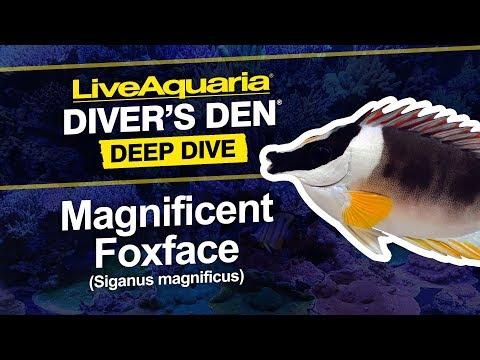 LiveAquaria® Diver's Den® Deep Dive: Magnificent Foxface (Siganus Magnificus)