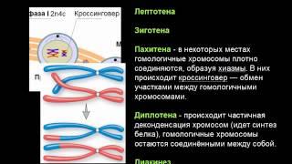 Мейоз Биология ЕГЭ 2014 тест С5 теория и ответ