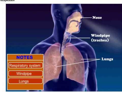 Respiration In Human Body Youtube