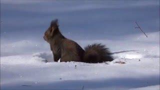 野生のエゾリス 白いエゾリス 検索動画 26