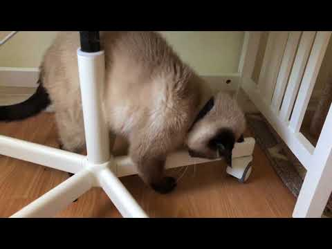 My Siamese Cat Max Playing