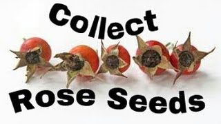 How to Collect and Save Rose Seeds from Rose Hips
