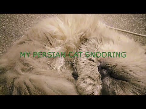 PETSHOP MOMENT My Persian Cat When Our Cat Appolonio Falls into a Deep Sleep