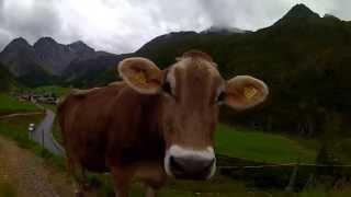 Sweet GoPro cow in HD, bro ! Switzerland ! GoProCowBro !