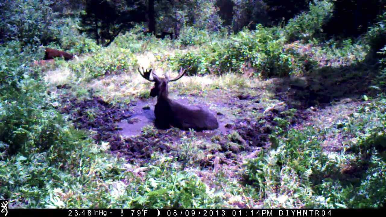 Bull Moose on a Browning Spec Ops BTC-3 Trail Camera