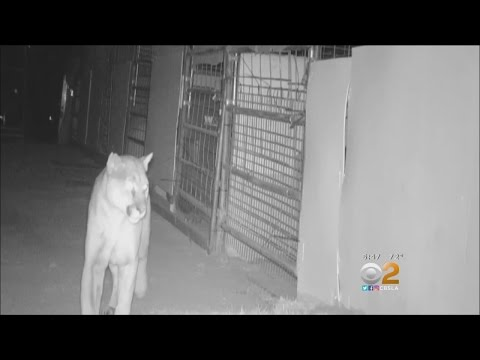 Caught On Tape: Mountain Lion On The Prowl Before Killing 8 Goats